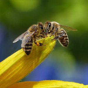 Honey Bees on Flower