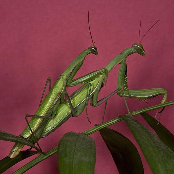 Praying Mantis Mating - Oliver Koemmerling