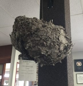 Large wasp nest