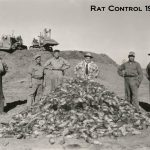 Poulin team with huge rat pile - Alberta 1952