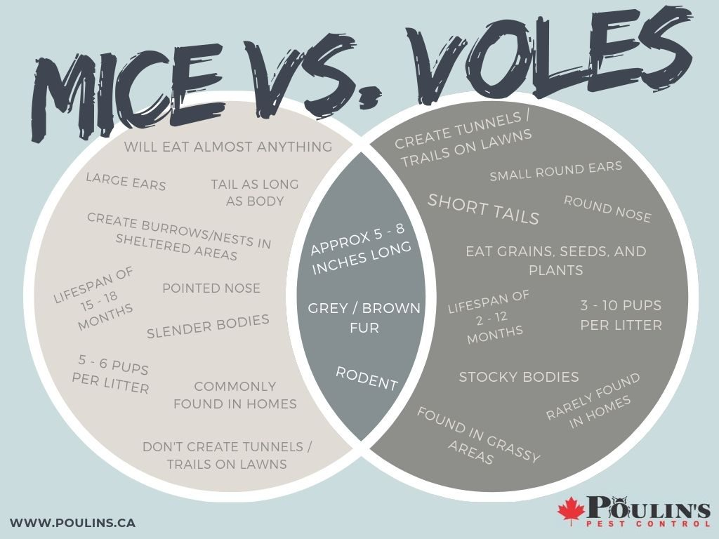 Mice vs. Voles