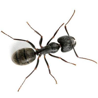 Test Your Knowledge: Carpenter Ant Quiz