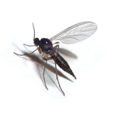 Fungas Gnat