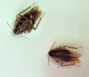 German Cockroach - Top and underside view