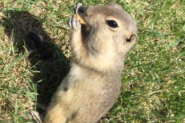 Pest Spotlight: Richardson Ground Squirrel