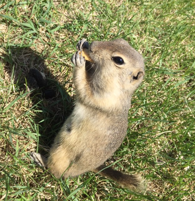 Pest Spotlight: Richardson Ground Squirrel