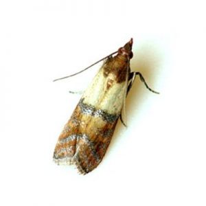 The Indian Meal Moth, a Grain Feeding Pest