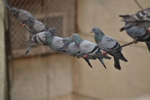 Swinging Pigeons Line