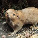 Pocket Gopher