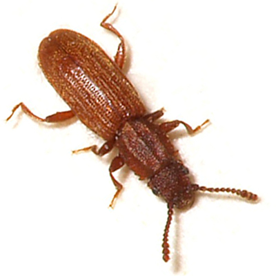 Test Your Knowledge: Stored Product Pests Quiz