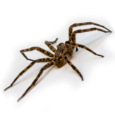 5 Natural Remedies to Combat Spiders