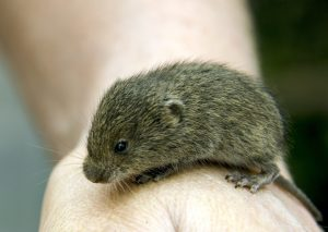 Vole on a hand
