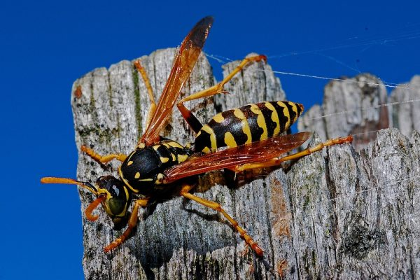 Wasps in Canada