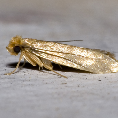 Webbing Cloth Moth
