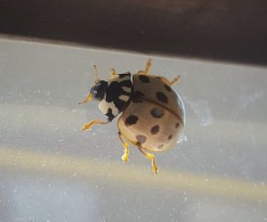 asian ladybird beetle