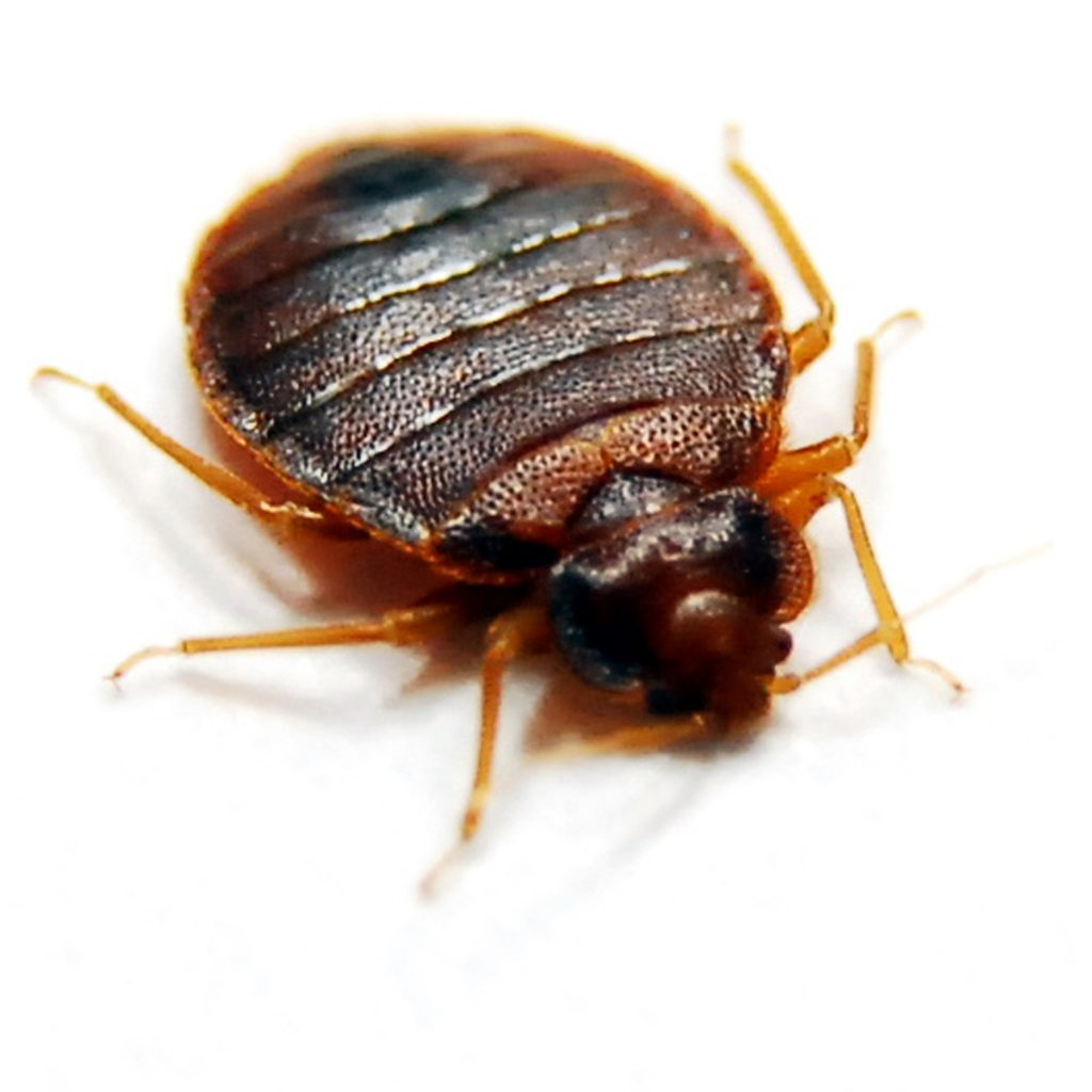 Test Your Knowledge: Bed Bugs True or False