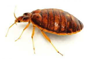 Bed bug - side view