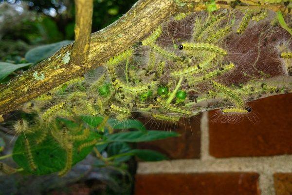 Pest Spotlight: Fall Webworm