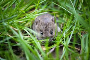 House Mouse in grass