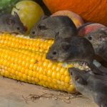 mice eating corn