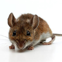 Baby It's Cold Outside: Why Mice Move In For The Winter