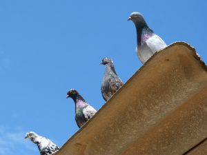 Pigeons Lookout