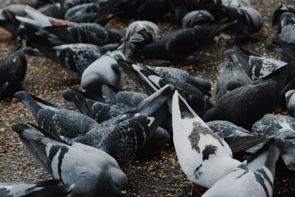 Controlling Pigeons When the City Won't