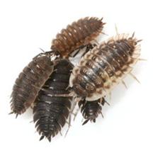 sowbugs