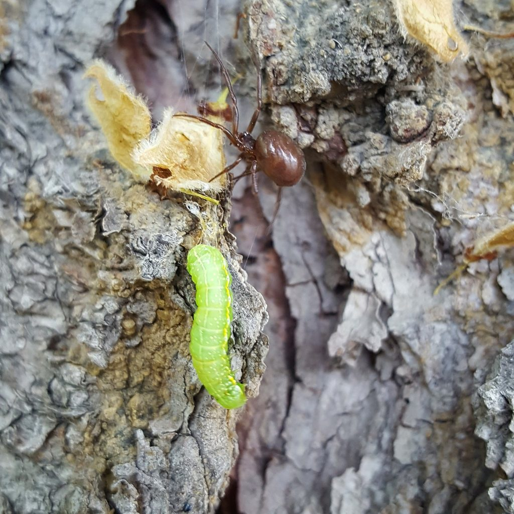 Pest Spotlight: Cankerworms