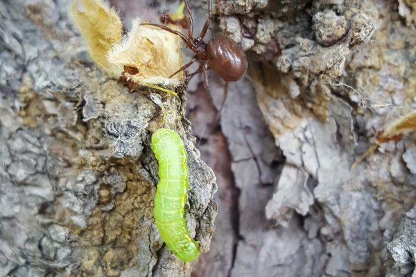 Pest Spotlight: Cankerworms