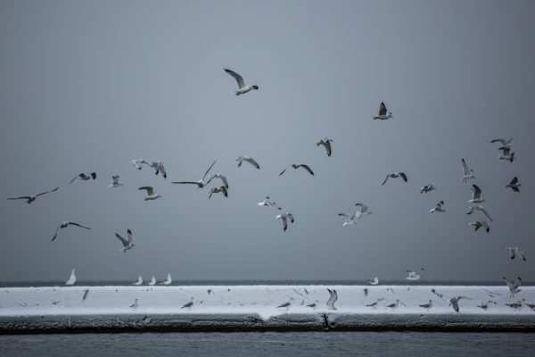 Invasive Species Birds