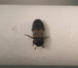 larder beetle - cropped